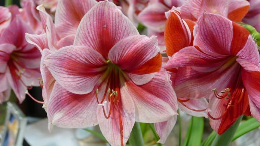 Комнатный цветок амариллис