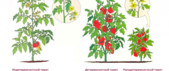 особенности индетерминантных помидор