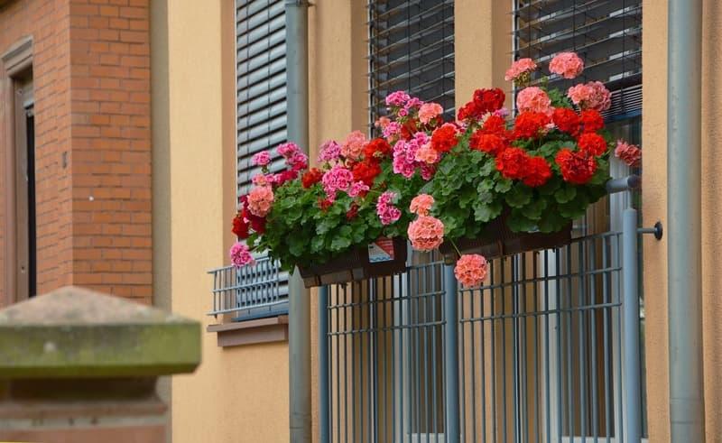 Фото герани на балконе