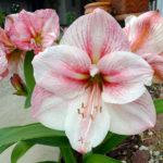 Какие цветочки у гиппеаструмов