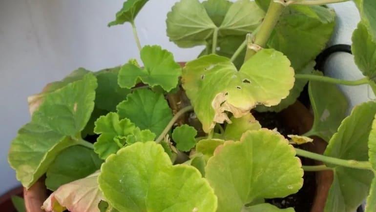 Фото герани с пожелтевшими листьями