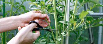 Фото процесса пасынкования томатов