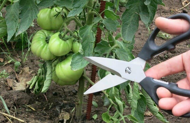 Фото обрезки листвы томатов ножницами