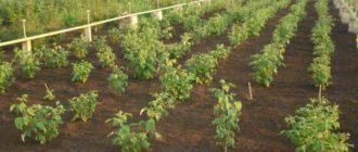 Посадка малины