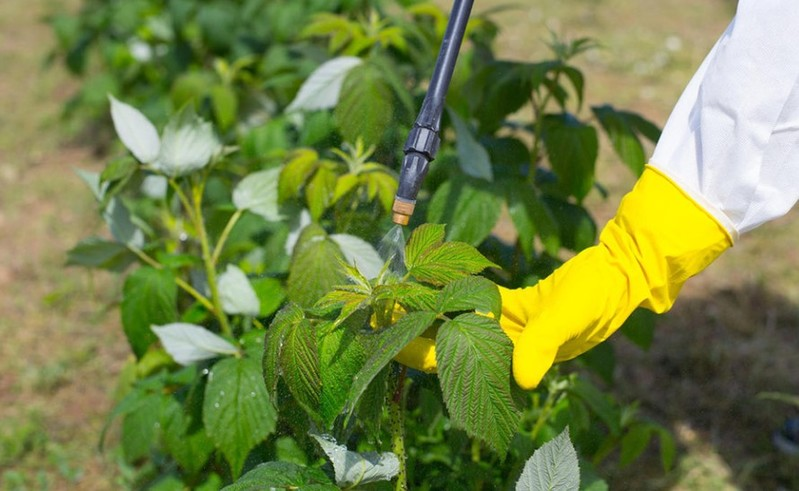 Фото внекорневой подкормки малины