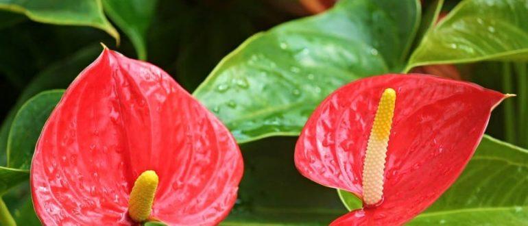 2 цветка антуриума