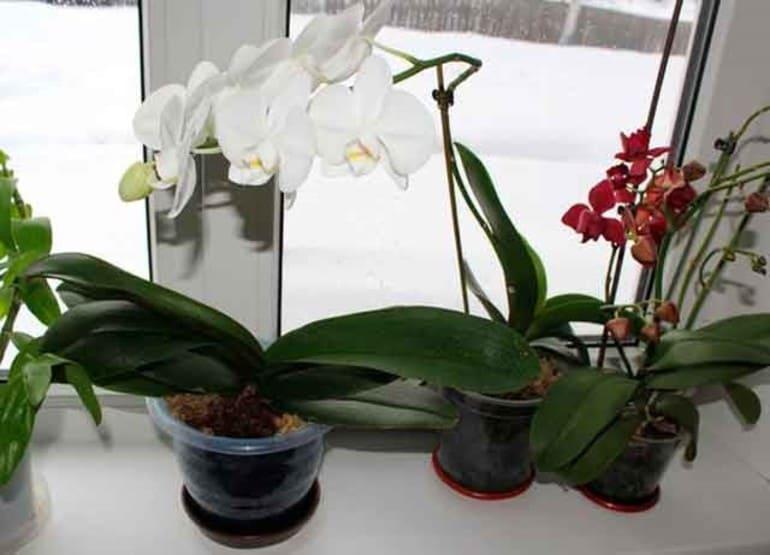 Неправильное месторасположение орхидеи