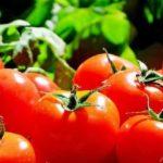 Подкормка помидоров дрожжами