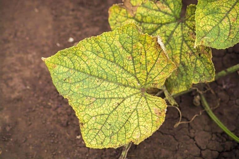 Почему желтеют листья у огурцов: чем обрабатывать и опрыскивать, как лечить