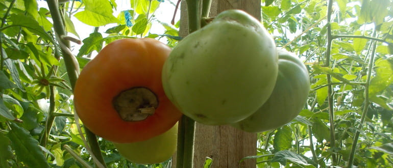 Фото вершинной гнили на помидорах