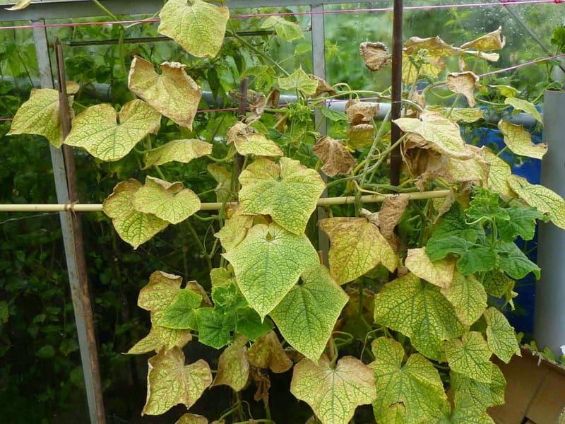 Фото пожелтения листьев огурцов в теплице