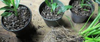Размножаем спатифиллум