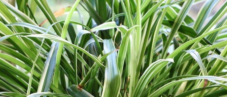 Хлорофитум в доме: как посадить и вырастить цветок – комнатный сорняк. Все о пользе хлорофитума (фото) - Автор Екатерина Данилова
