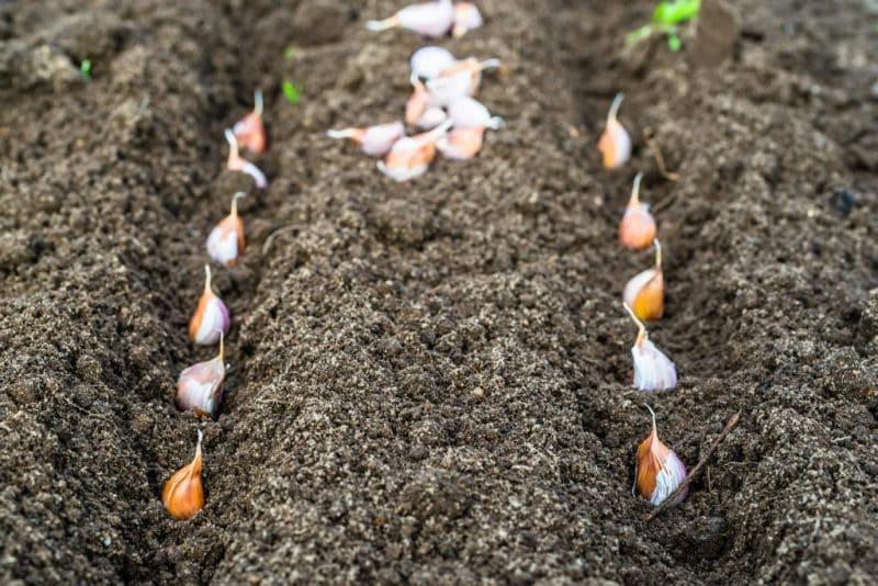 Фото посаженных зубчиков чеснока