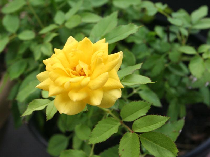 Фото розы йеллоу долл