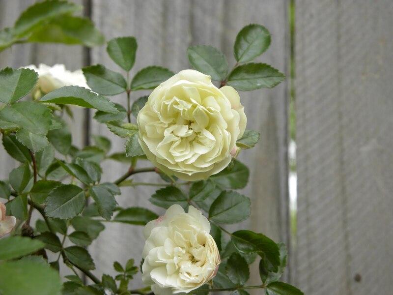 Фото розы грин айс
