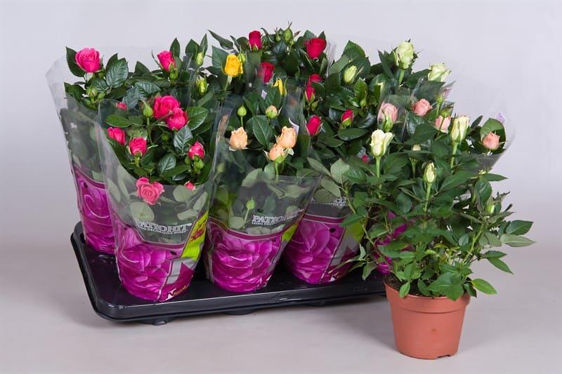 Фото комнатной розы в магазинных горшках