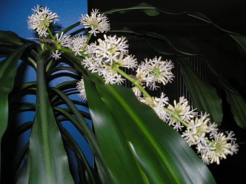 Фото цветения драцены