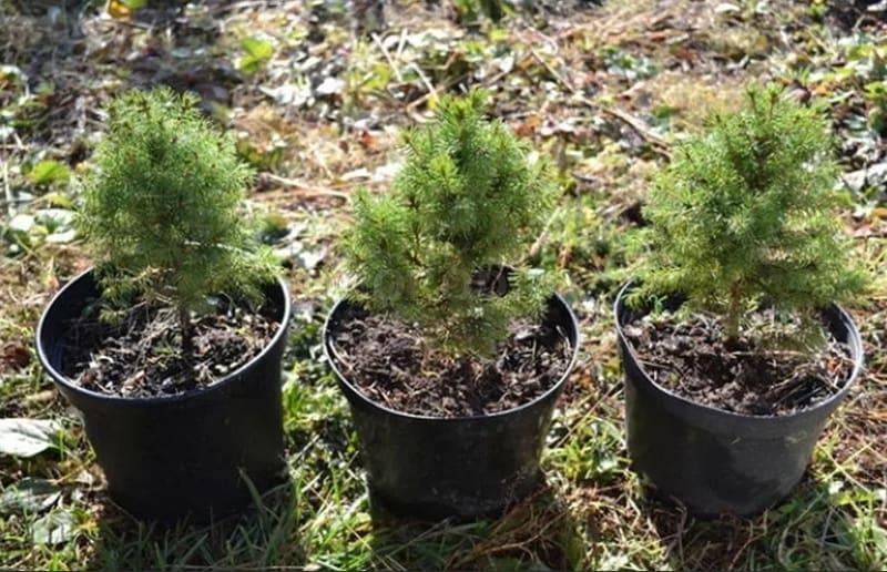 Фото принявшихся черенков елки