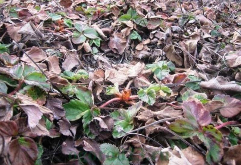 Фото клубники весной