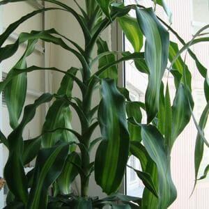 Цветок драцена – виды, уход, размножение и пересадка растения - What Flower-