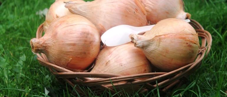 Как вырастить крупный лук из семян и из севка
