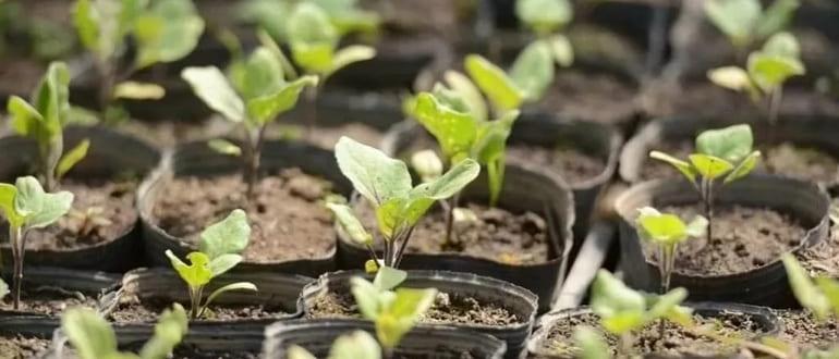 Когда садить баклажаны на рассаду в сибири