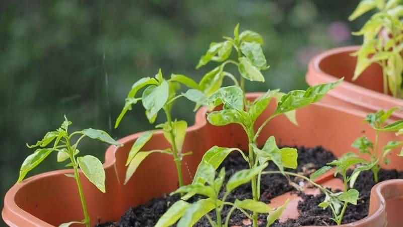 когда сажать рассаду капусты в апреле 2021
