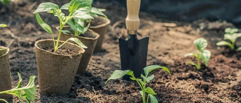 Как сажать рассаду перца в открытый