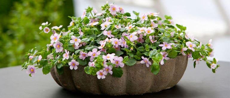 Бакопа: выращивание из семян, фото, когда сажать в домашних условиях