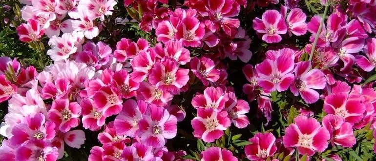 Цветок годеция посадка и уход