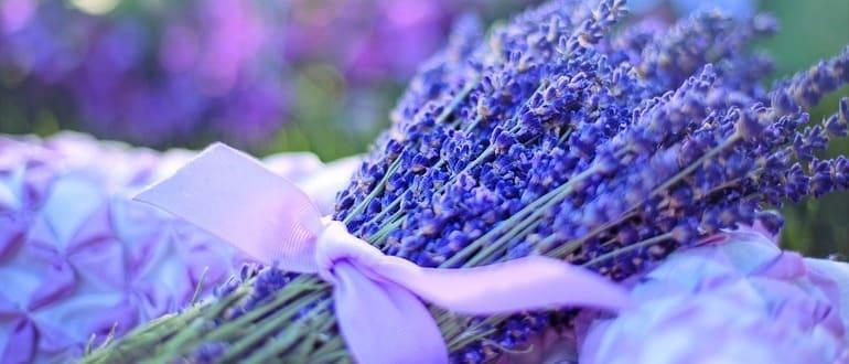 Стратификация семян лаванды в холодильнике
