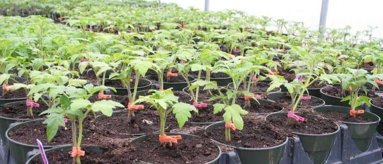 Когда посадить рассаду помидор