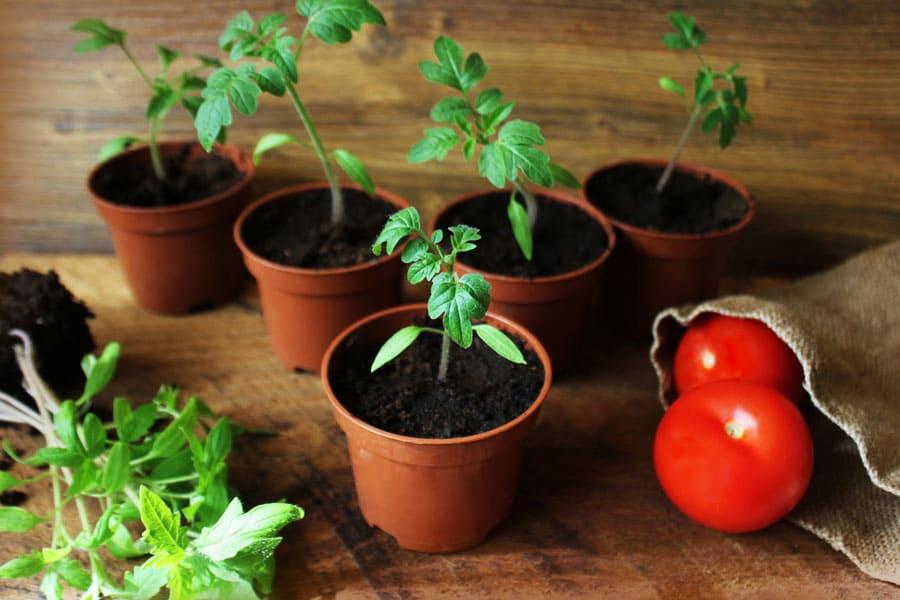 Фото саженцев помидоров
