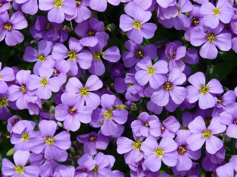 Фото цветков обриеты