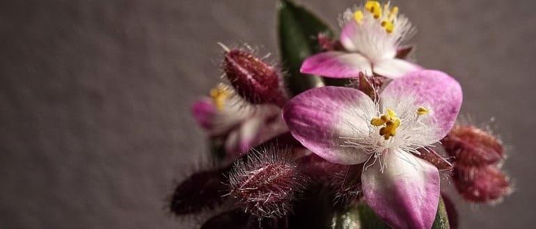 Как выглядит цветок традесканция