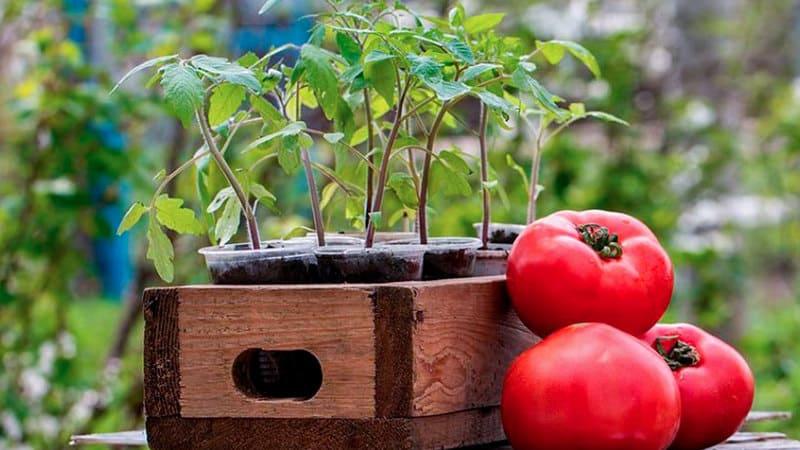 Фото саженцев и плодов томатов