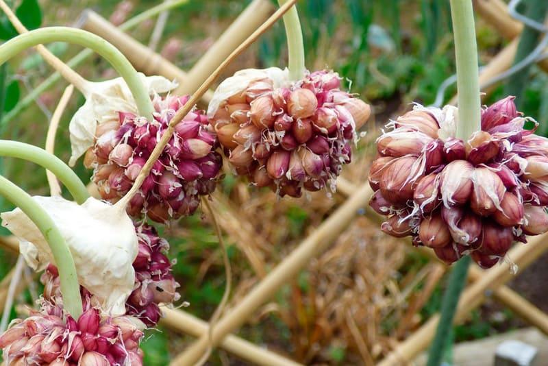 Фото бульбочек чеснока