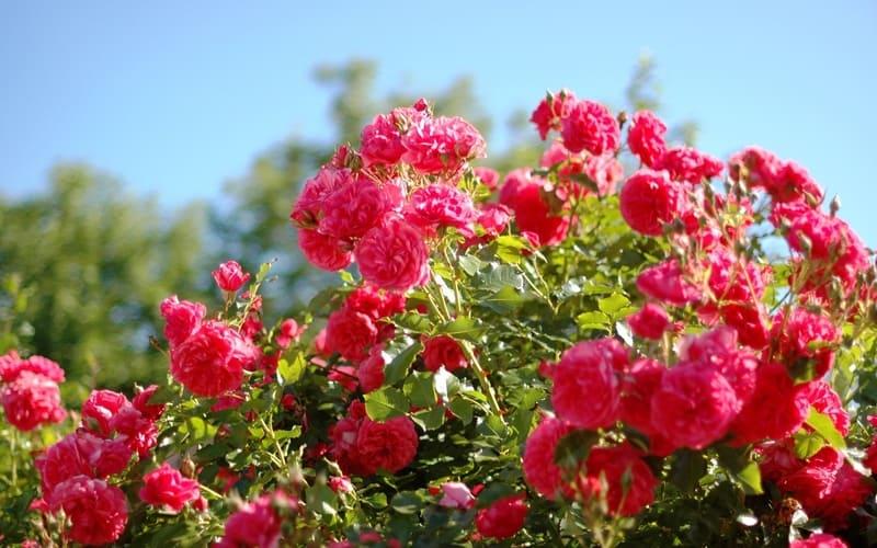 Фото обильного цветения роз
