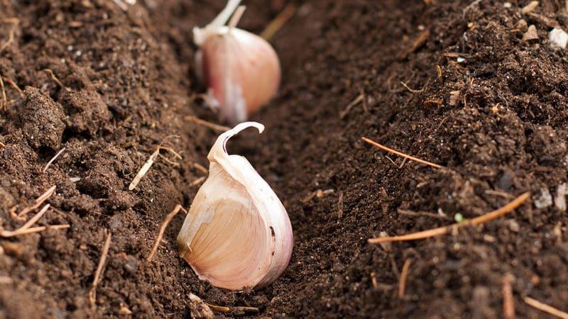 Фото посадки чеснока