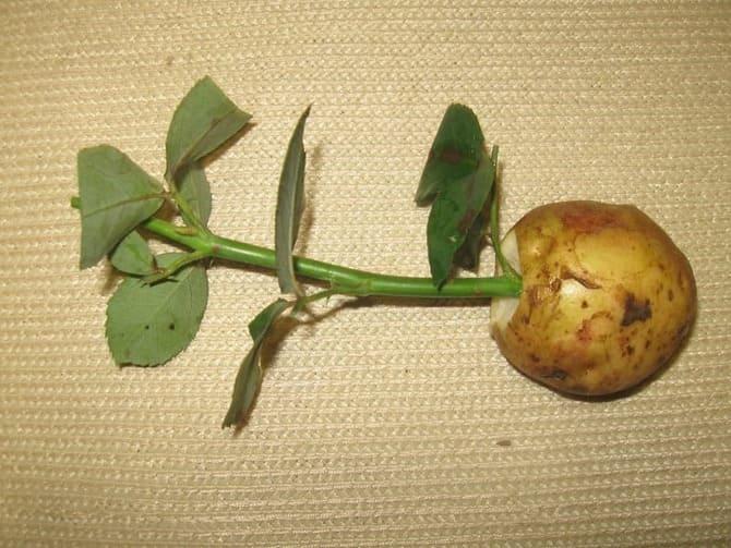 Как прорастить розу в картошке фото