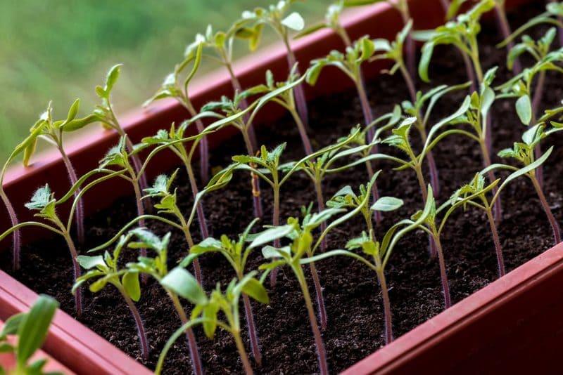Фото загущенной рассады помидоров