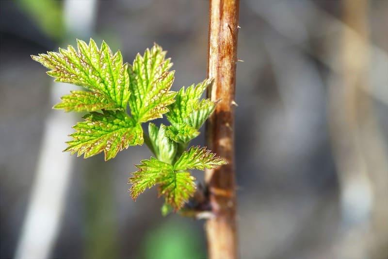 Фото листиков малины