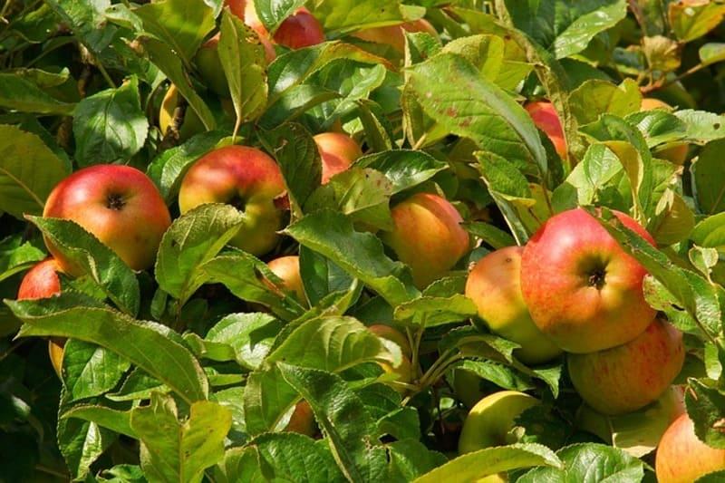 Фото много яблок