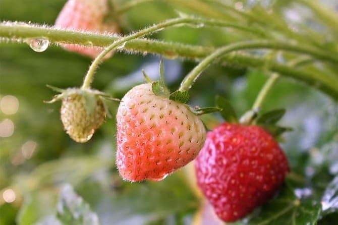 Фото мокрых ягод клубники