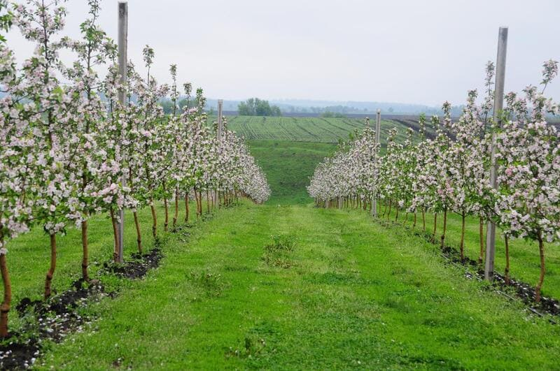 Фото молодых яблонь