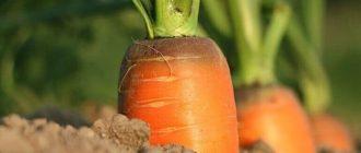 Фото моркови_главная