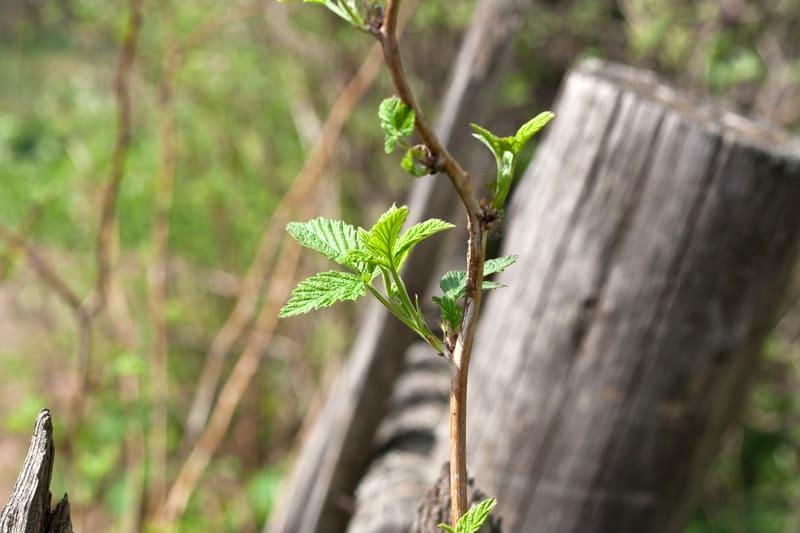 Фото побега малины