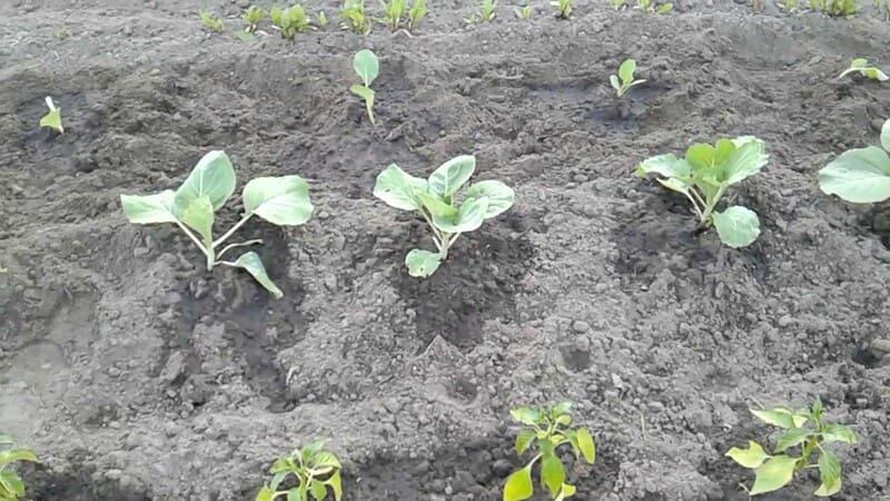 Фото подкормки капусты