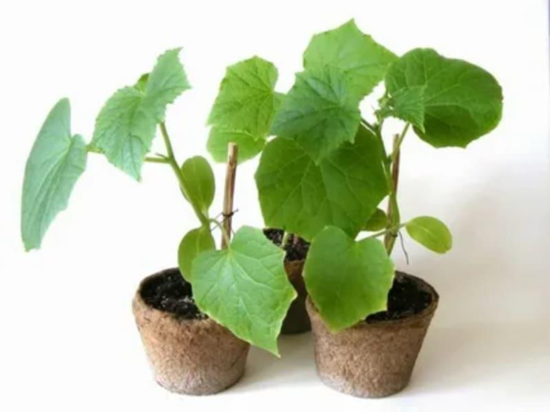 чем замедлить вытягивание рассады и ограничить рост